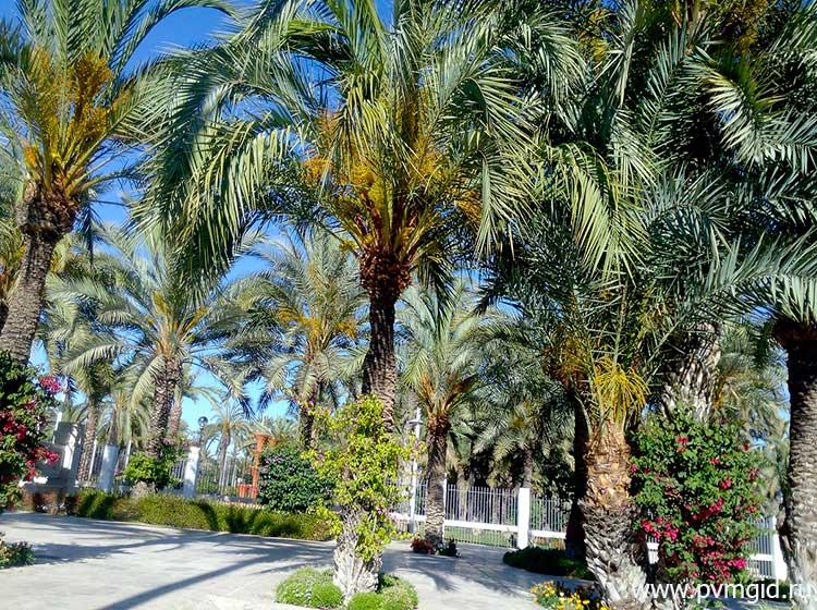 Пальмовый лес «Palmeral de Elche» - фото