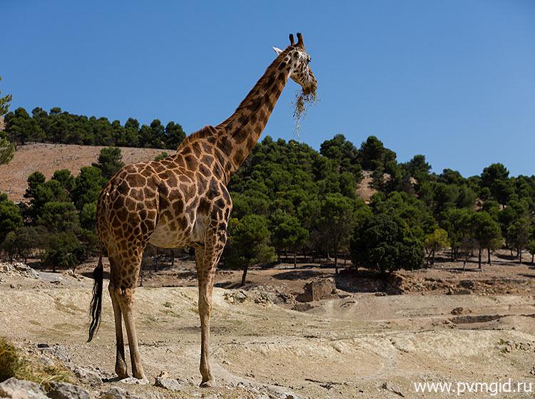 Обитатель парка - жираф - фото