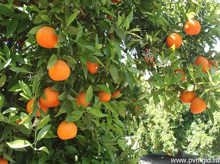 Апельсиновая ветка - фото