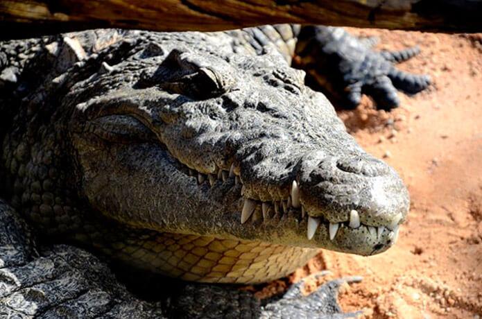 Крокодил Гнометный в зоопарке
