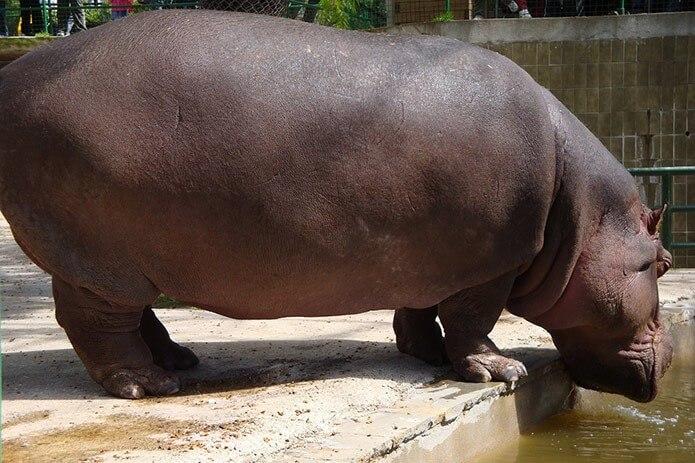 Гиппопотам в зоопарке - фото