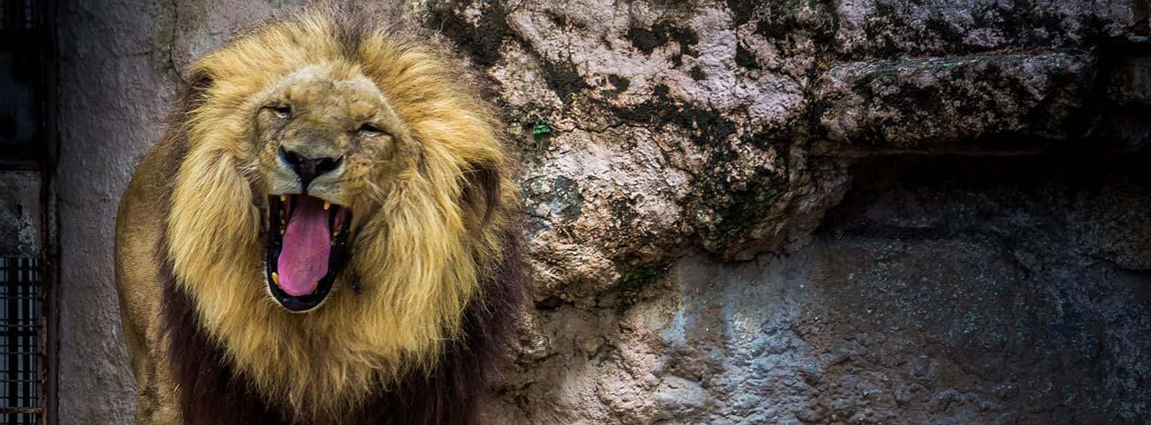 Лев в зоопарке Барселоны - фото